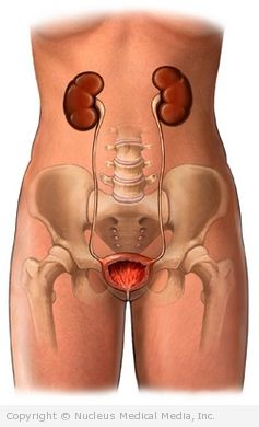 Kidneys, Ureters, and Bladder