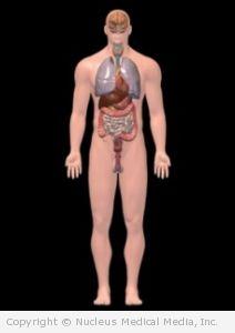Major Organs - Male