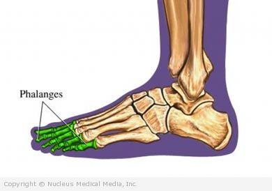 The Toes (Phalanges) of the Foot